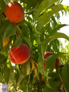 Beautiful Colorado peaches in a Palisade orchard. Photo by Beth Buehler.